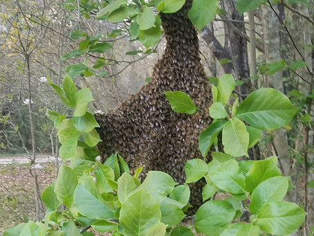 Early Swarm! Is my hive queenless now?