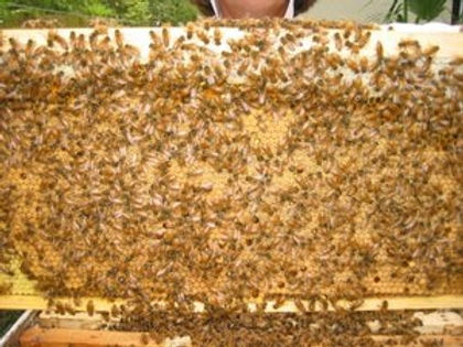 Frame of bees for open hives service.jpg