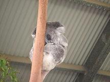 Koala on Tree