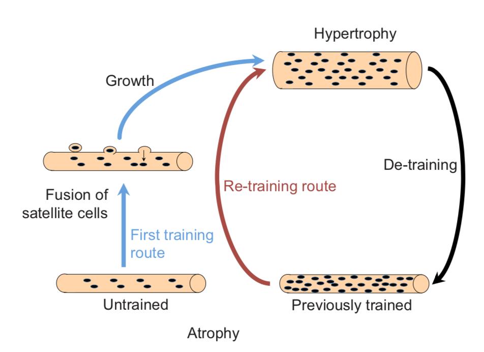 Proceso de memoria muscular