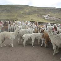 Pastores andinos