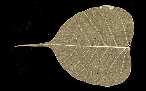 Bodhi_Tree_Leaf1.jpg