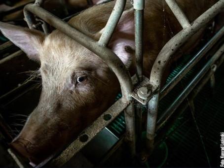 Die Qual der Schweinemütter