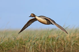 NOPI_NorthernPintail_TimBowman_4309.jpg