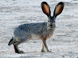 Deadly rabbit disease reported for first time in Idaho | North Idaho News Now