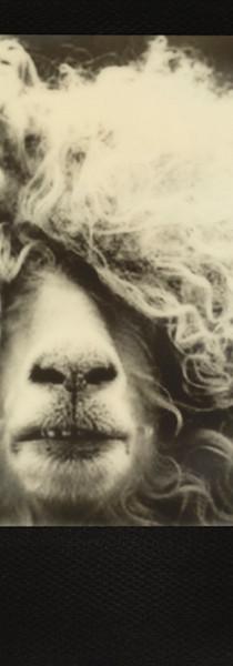 Curly Hair'd Sheep