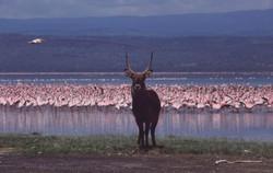 Kenya, Nakuru National Park