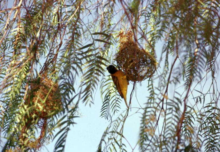 Ethiopia, Langano, uccelli tessitori