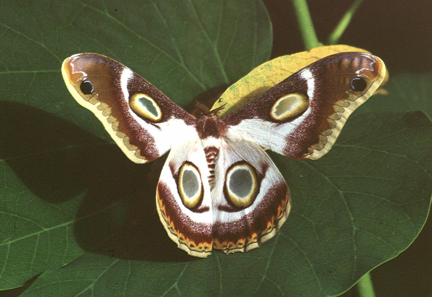 Kenya, Sigor, Butterfly