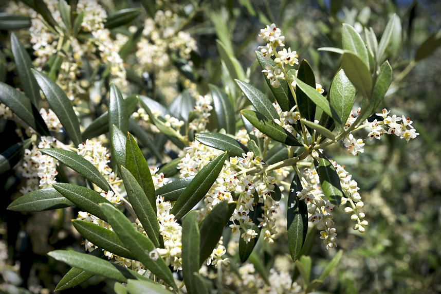 olive-5008541.jpg