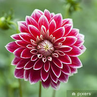wall-murals-single-flower-of-red-dahlia.