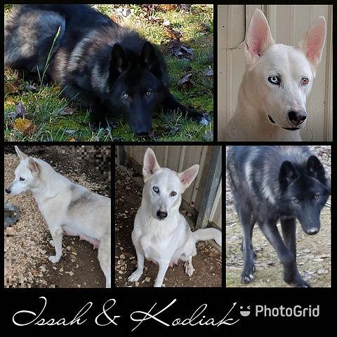 Midnight Run Wolves Wolfdog Puppies United States