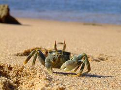 Tailor Made Safaris - iSimangaliso Wetland Park - Eastern Shores - Crab 01