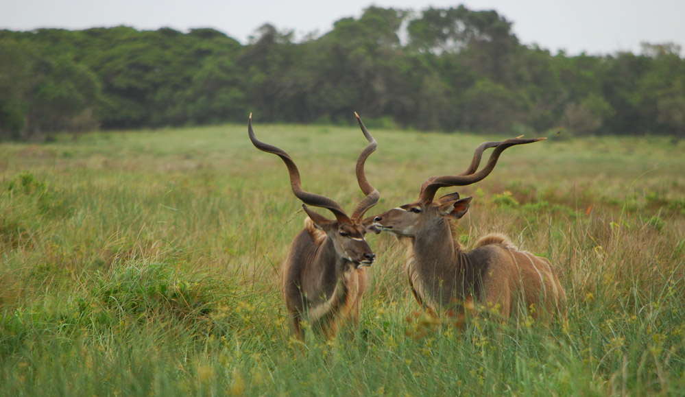 Tailor Made Safaris - iSimangaliso Wetland Park - Eastern Shores - Kudu 02