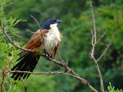 Tailor Made Safaris - iSimangaliso Wetland Park - Eastern Shores - Burchell's Coucal 01