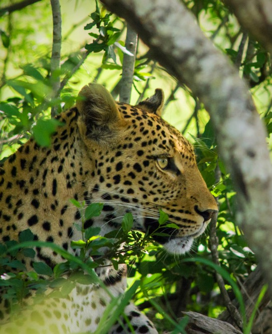 Tailor Made Safaris - Hluhluwe-iMfolozi Park - Leopard 01_edited