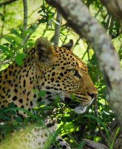 Tailor Made Safaris - Hluhluwe-iMfolozi Park - Leopard 01_edited