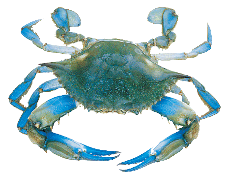 Maryland Blue Crab Cornhole Decal Sticker