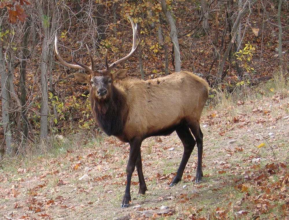Elk at Dogwood Canyon
