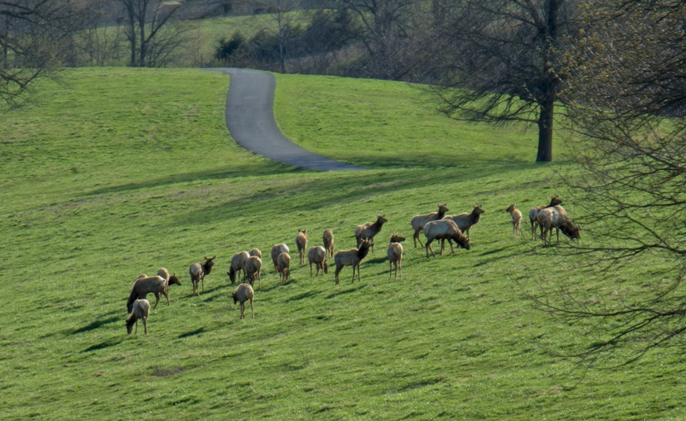 Herd of Elk at Dogwood Canyon