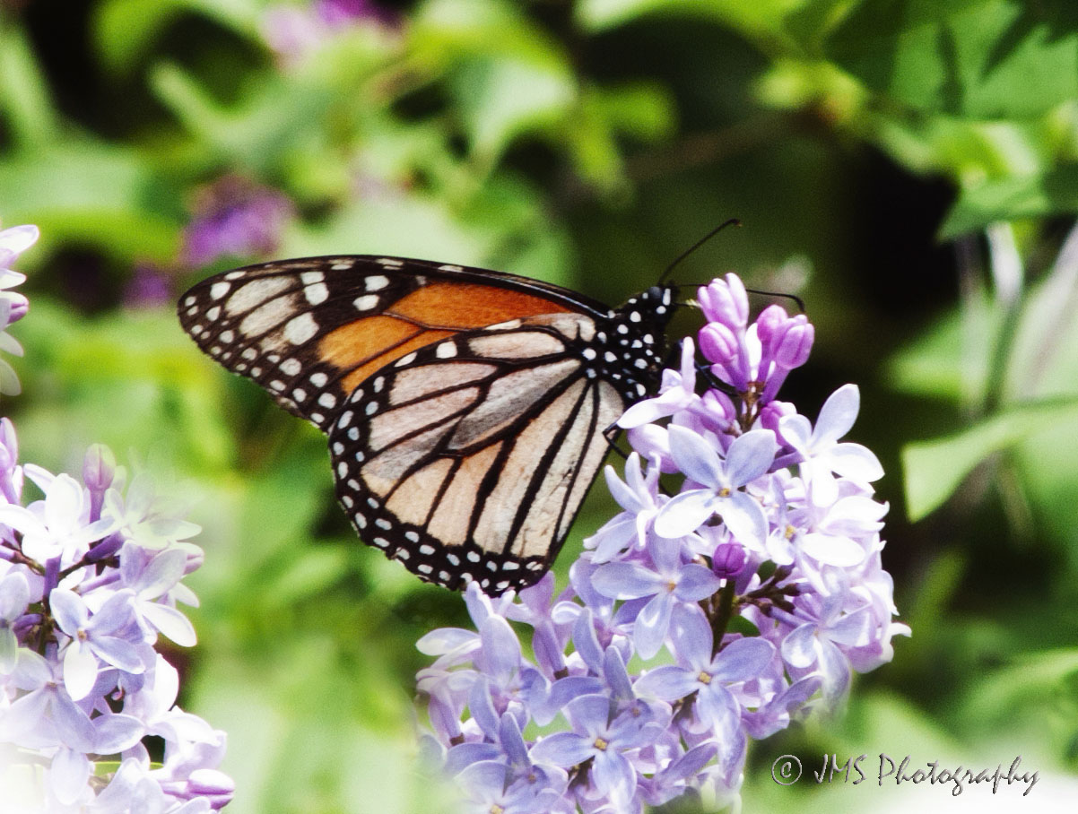 Butterfly in the Lilacs