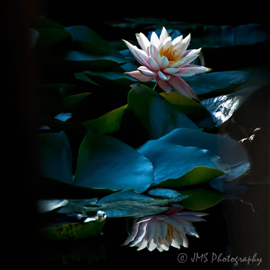 ©_Water_Lily_Reflections