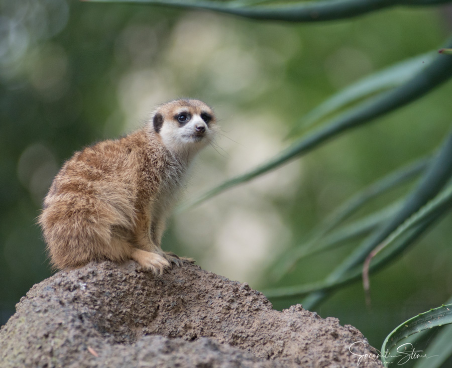 Quizzical Meerkat