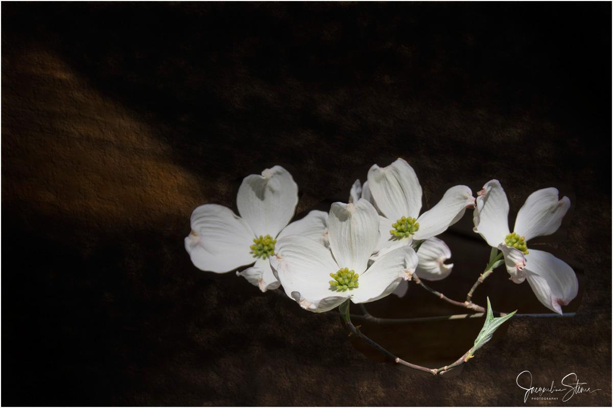 Dogwood Blossoms DSC_3228