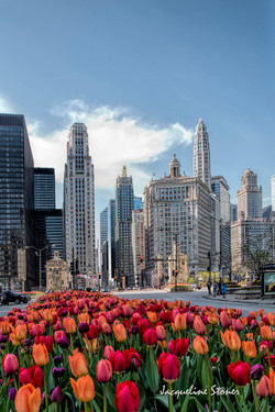 Tulips Along Michigan Avenue