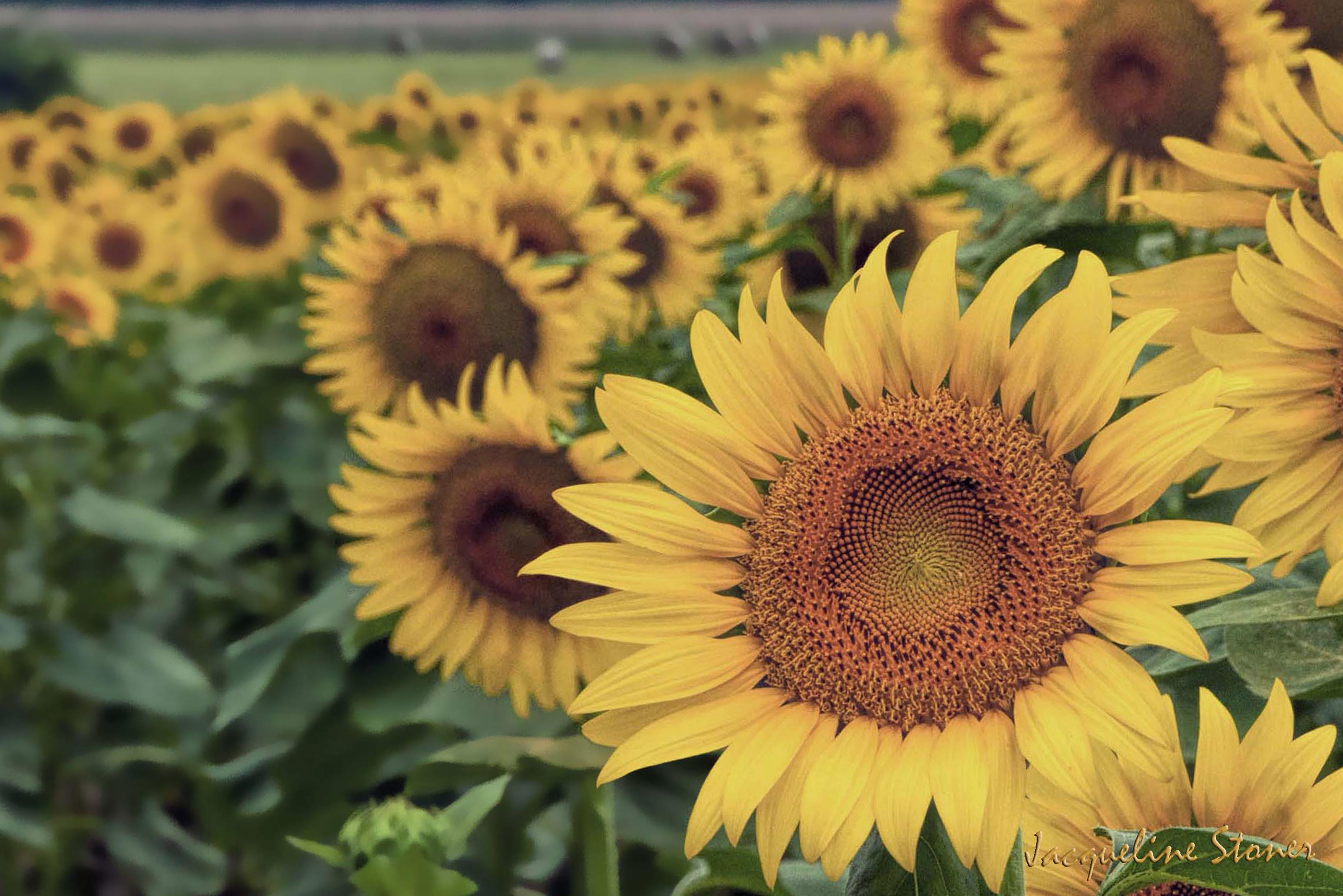 Sunflower Field in SW Missouri