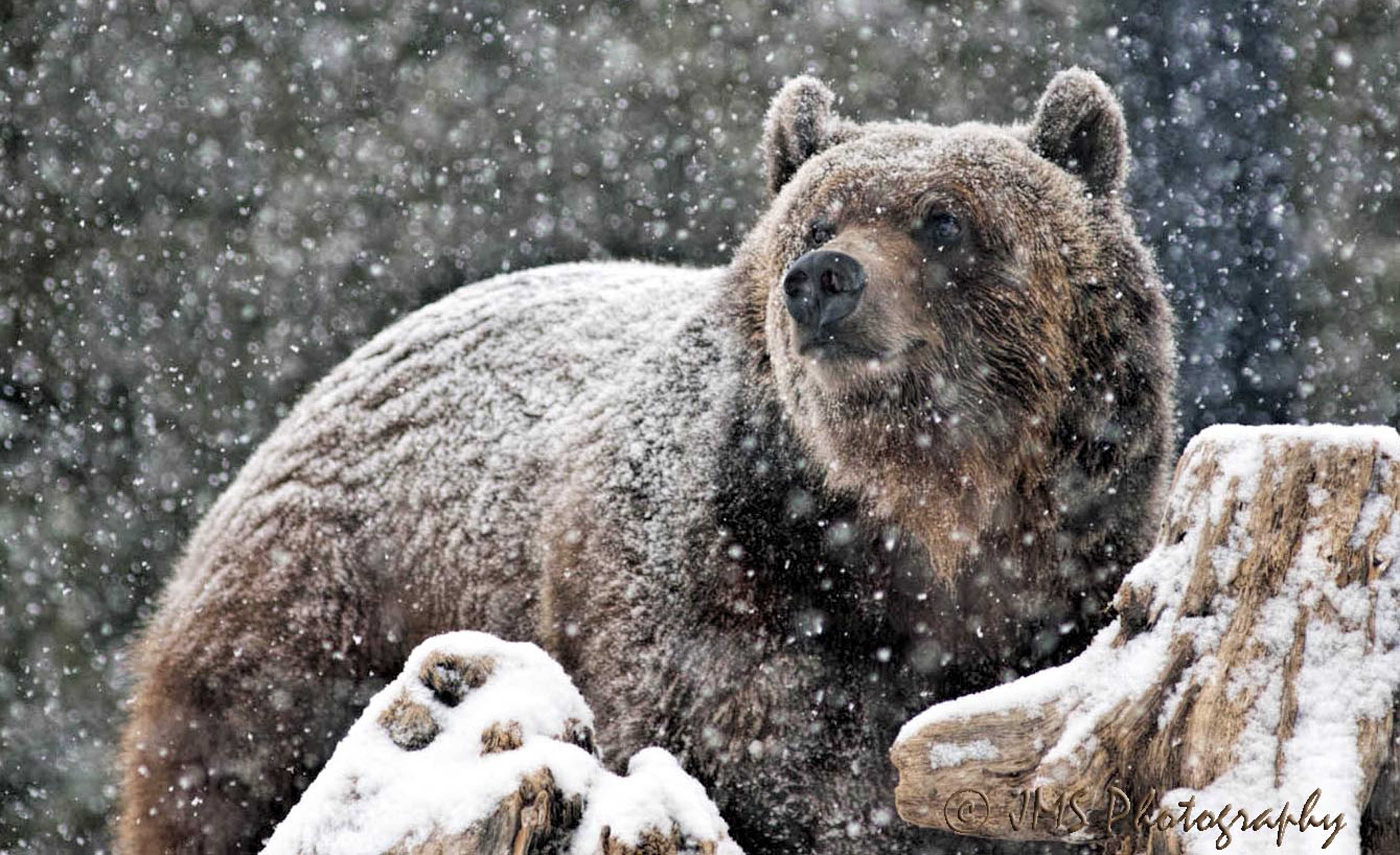 Brown Bear in West Yellowstone