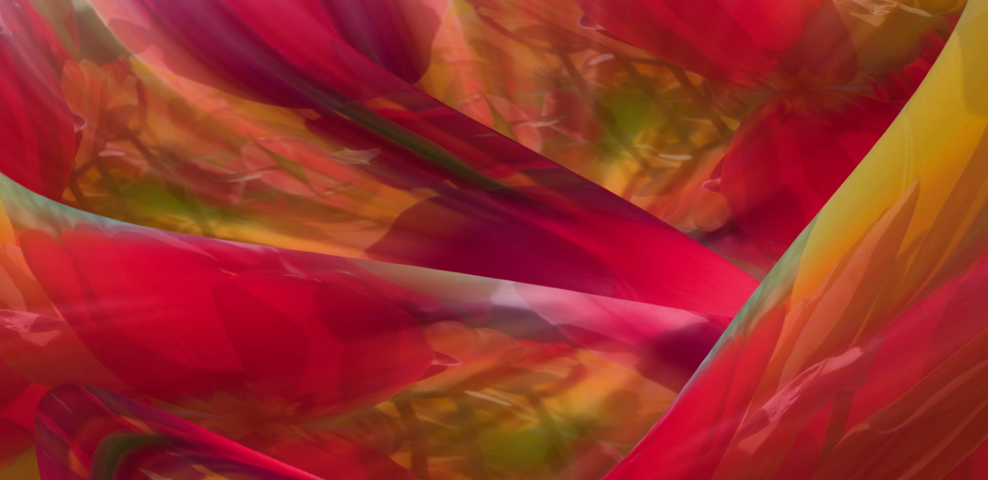 Tulips in Abstract