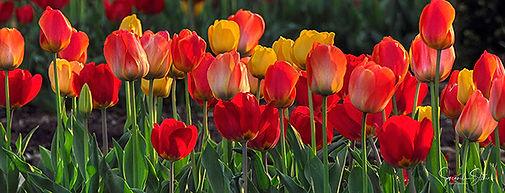 Tulips in Jefferson City