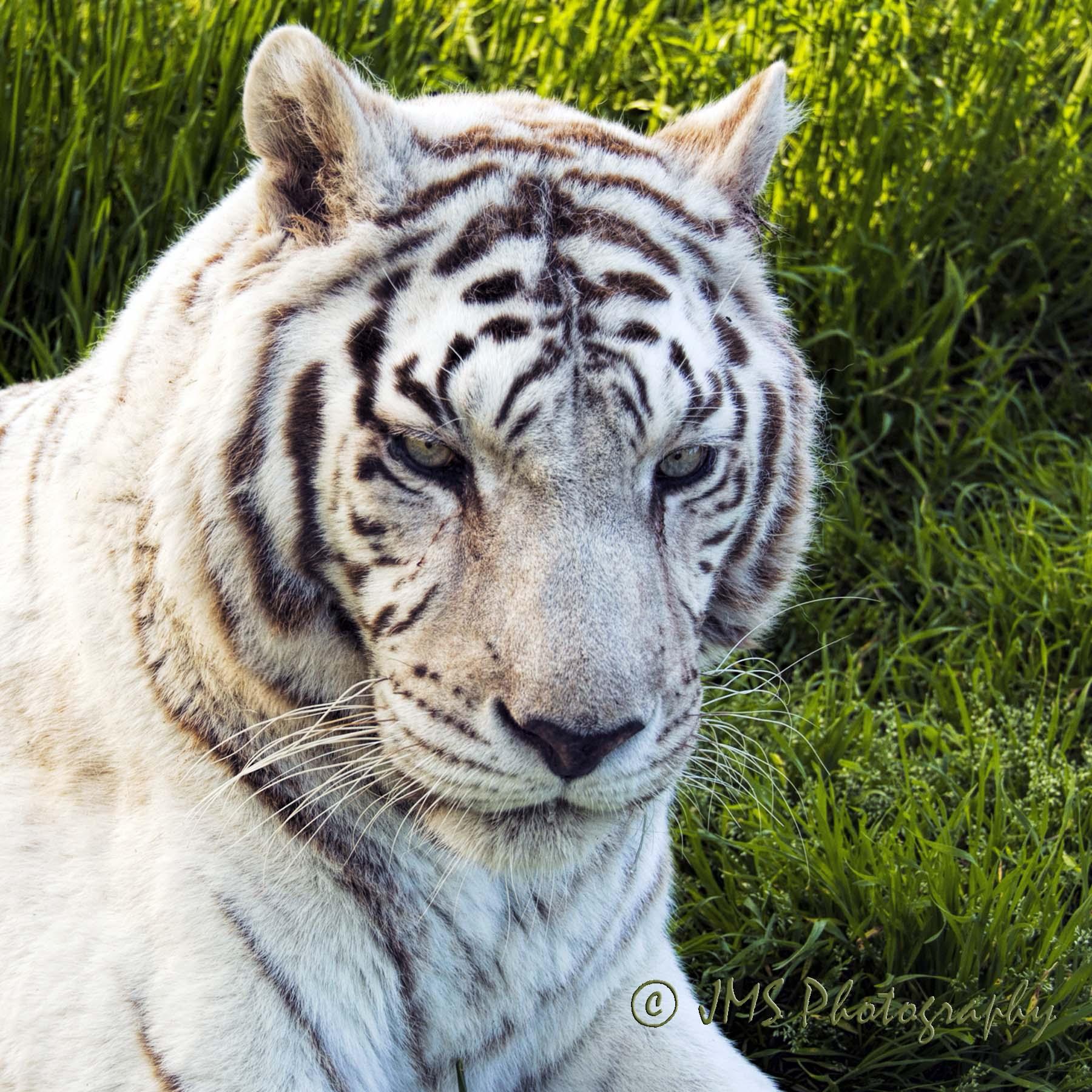 White Tiger named Loretta