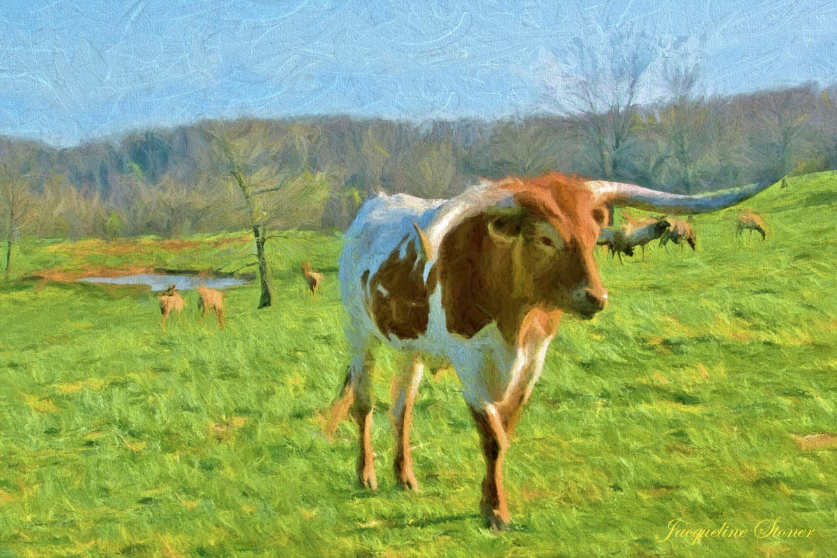 Dogwood Canyon - Long Horn Steer