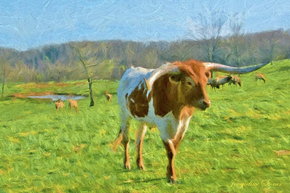 Dogwood Canyon - Long Horn Steer