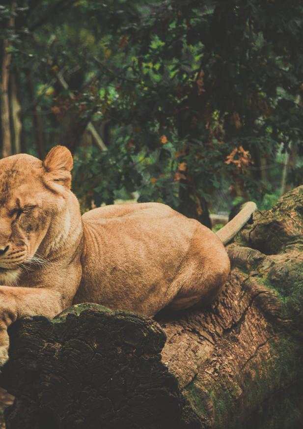 leone copia.jpg