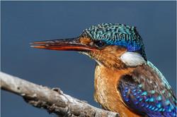 Small Malachite kingfisher