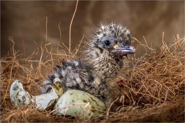 Just Born Seagull J_139971-Edit