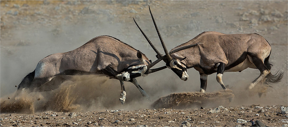 Aggressive oryx verklein.jpg