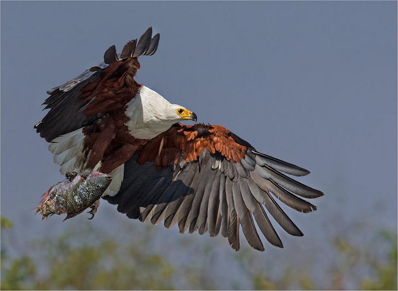 Zambezi fish eagle