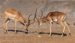 MR-001-Impala Fight 1-537