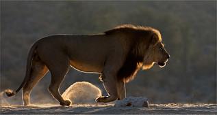 16 Lion on a mission.jpg