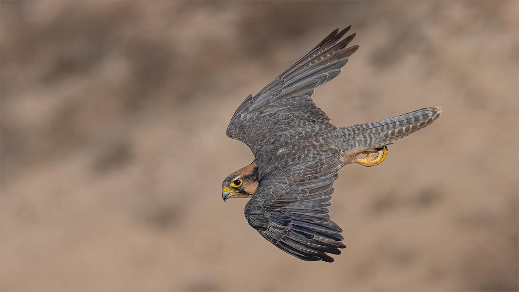 NB-M-Tania Cholwich-39-COM-Lanner Falcon