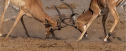 MR-004-Impala Fight 4-537