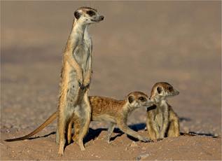 10 12 Alert suricates.jpg