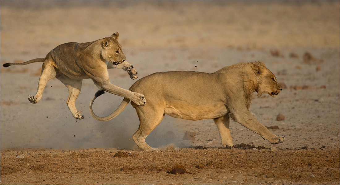 Playing lions