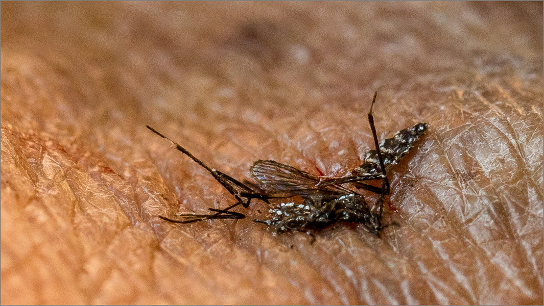 MR-005-Mosquito Life5-2806