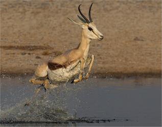 09 Frightened springbok.jpg