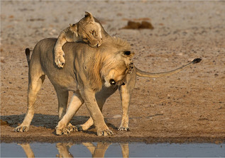 02 Lion affection.jpg